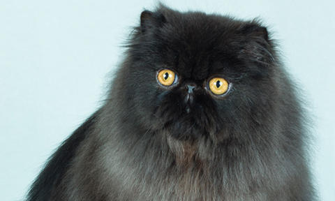 Feline Infectious Peritonitis Clinical Trials Show Promise