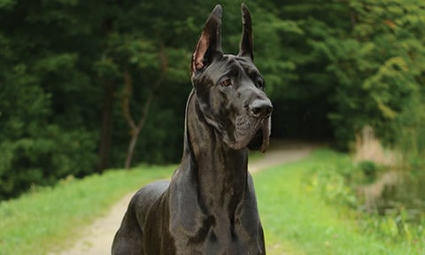 Great Danes Contribute To Chagas Disease Awareness